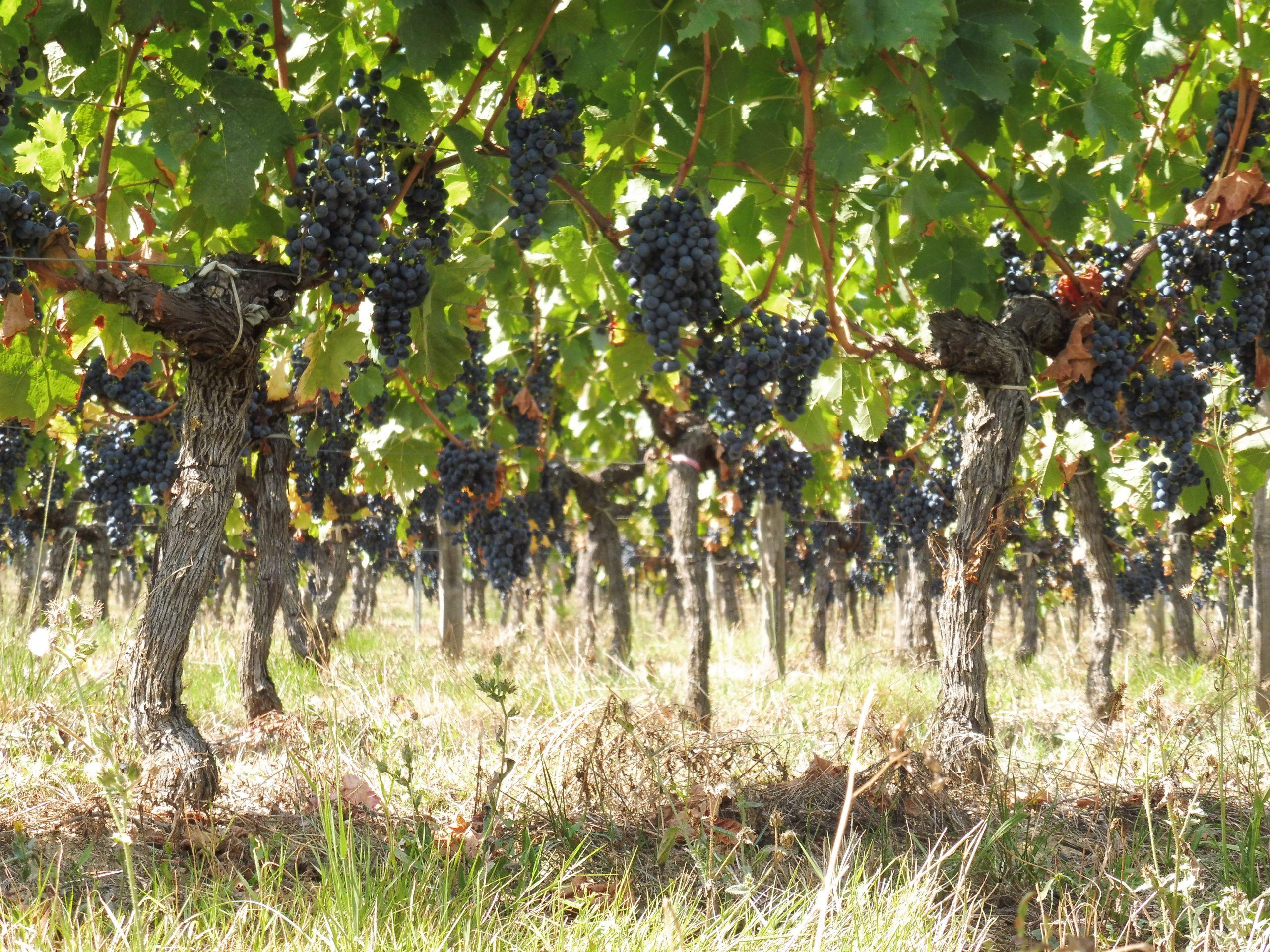 vignes côtes de bordeaux rouge producteur vin merlot