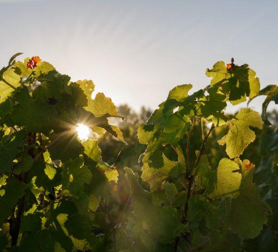 Soleil dans le feuillage viticole
