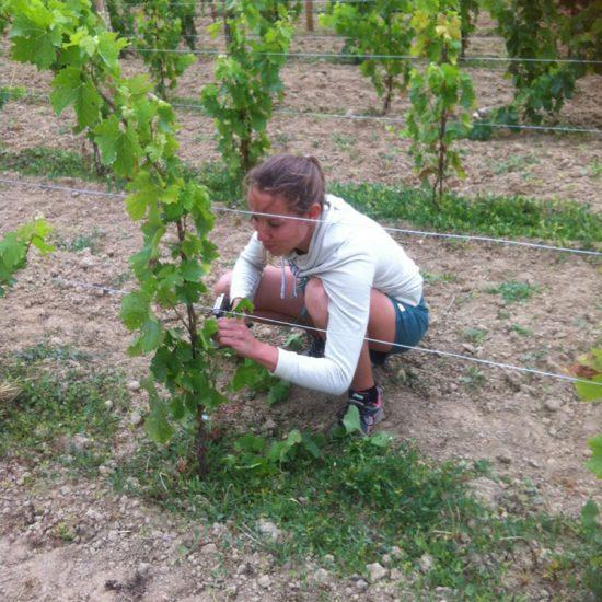 attachage des jeunes plants de vigne de Merlot