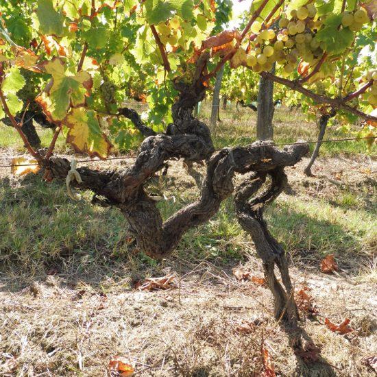 Vieux cep de vigne de sémillon